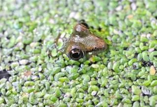 frog-gives-the-hairy-eyeball