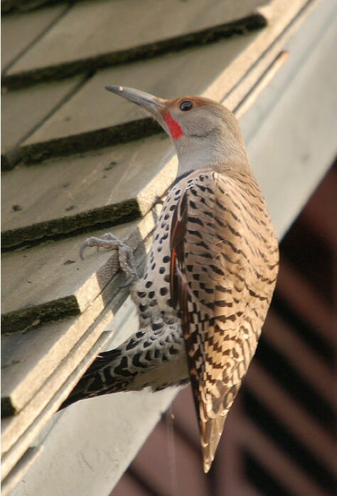 Northern Flicker by Greg Pond