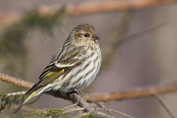 Pine siskin from Wikimedia Commons, by Simon Pierre Barrette or Cephas