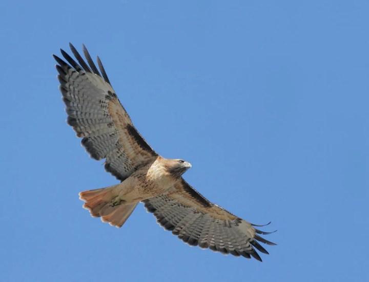 Red-tailed Hawk © Tom Grey