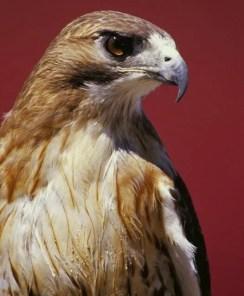 Red-tailed Hawk eye Beth Jackson FWS