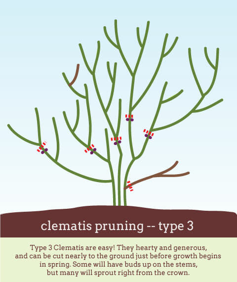 Type 3 Clematis pruning diagram