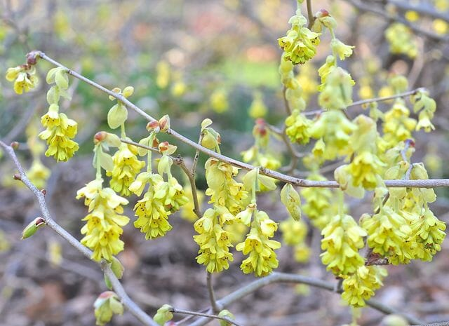 Corylopsis spicata, or winter-hazel, blooming