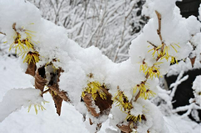 Hamamelis blooming in snow
