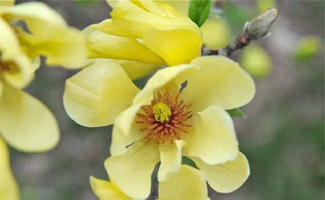A botanical whodunit rip yellow magnolia a way to garden butterflies magnolia mightylinksfo Gallery