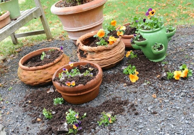 more uprooted pansies