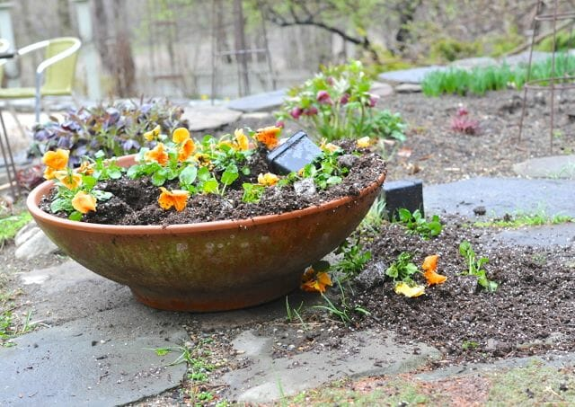 Large pot of pansies uprooted by skunks