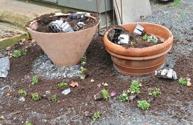 uprooted pansies in April