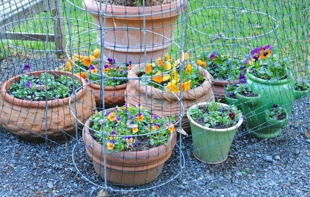 Pansy pots protected from animals by mesh and cages