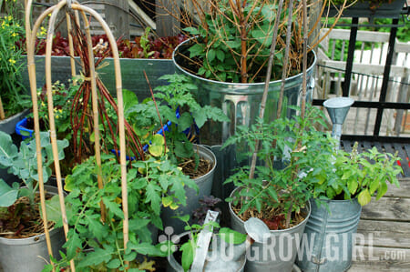 Tomatoes in pots in former roof garden of Gayla Trail