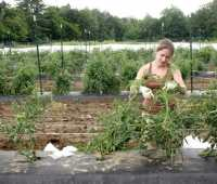 grow healthy tomatoes: staking and pruning