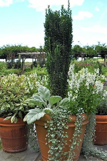 Shrub, silver sage, dichondra in pot by Hyland Garden Design