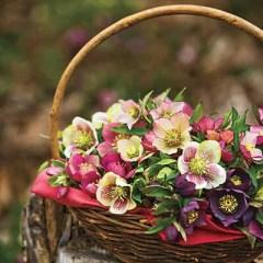 Barry Glick's basket of hellebore hybrids