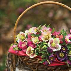 Barry Glick's basket of hellebore hybrids