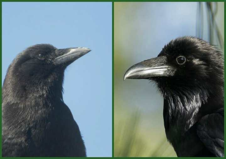 crow or raven?