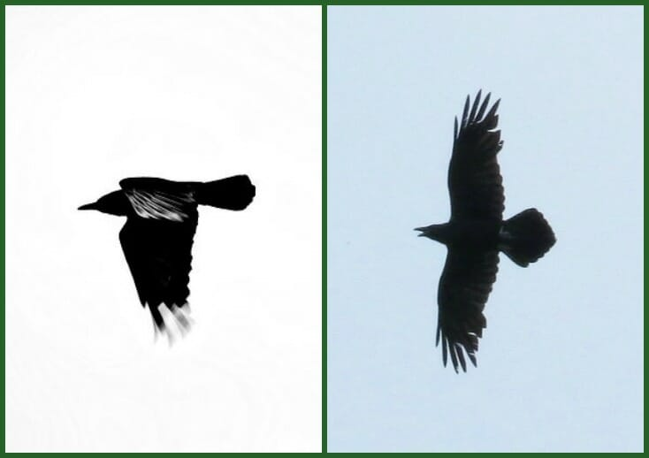 crow or raven 3