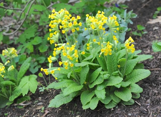Primula veris, the common cowslip