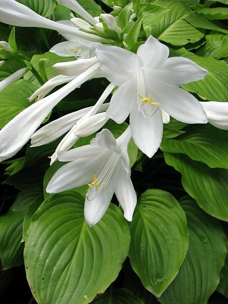 Hosta plantaginea (photo by Nova, from Wikimedia Commons)