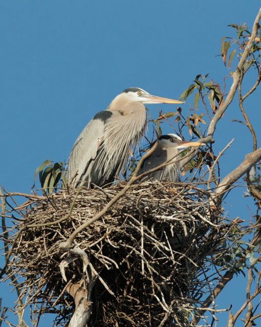 Great blue heron nest by Tom Grey