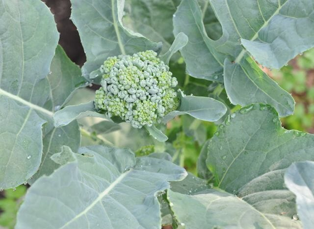 First central head of 'Piracicaba' broccoli