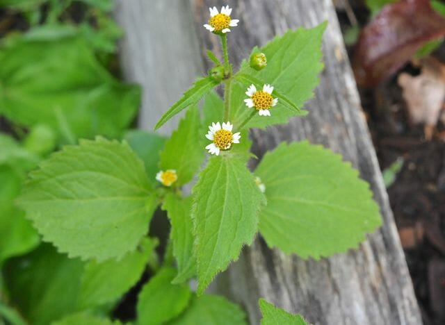 Naming Weeds: Hello, Galinsoga And Commelina