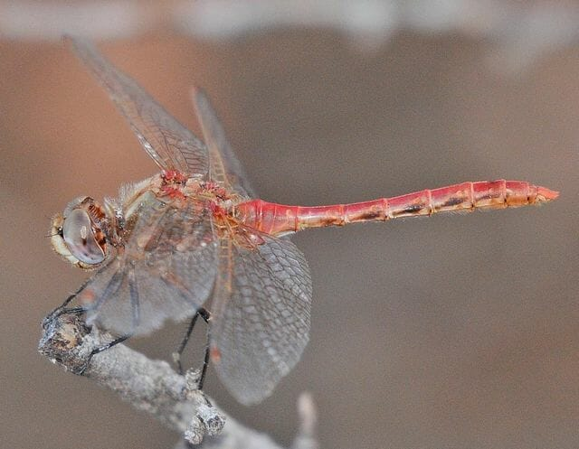 striped meadowhawk by dennis paulson