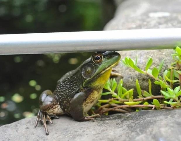 frog-with-net-pole-jpg