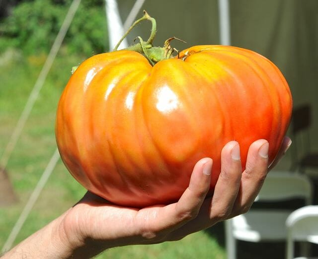 'Upstate Oxheart' heriloom tomato at Hudson Valley Seed Library farm.