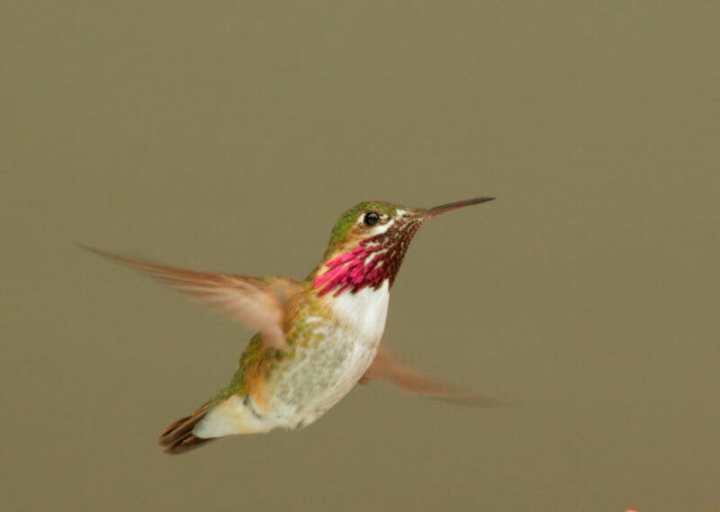 Calliope hummingbird, by Tom Grey.