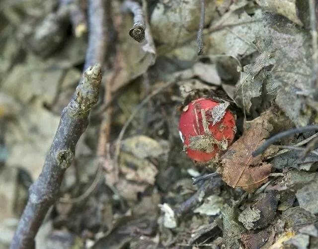 Russula emetica