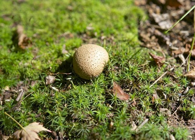 possible pigskin poison puffball, Scleroderma