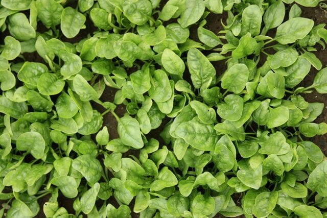 Butterflay spinach in field at High Mowing Seeds
