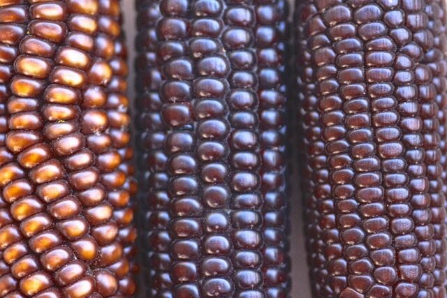 Chapalote corn at Native Seeds/SEARCH