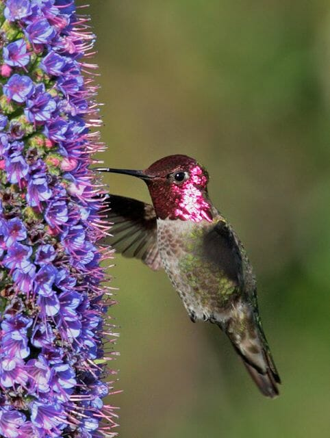 Anna's hummingbird by Tom Grey