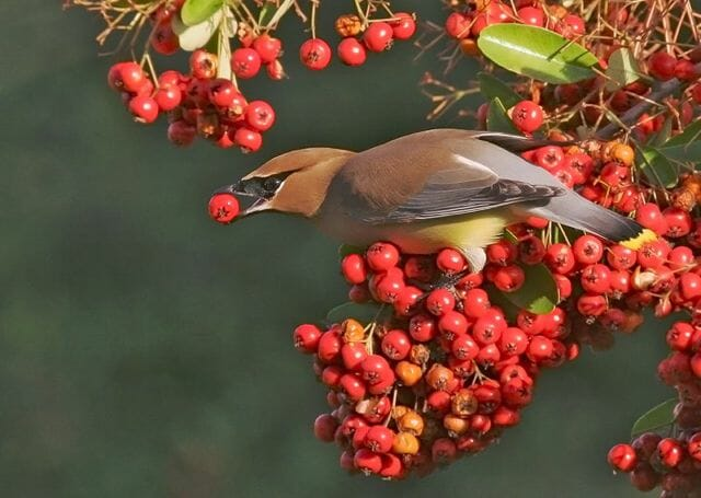 Cedar waxwing by Tom Grey