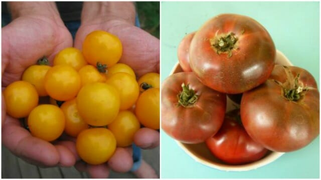 Galina and Carbon tomatoes from Uprising Seeds