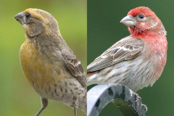 House Finches © Gilbert & Henderson
