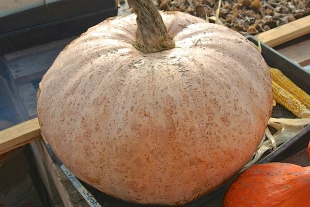 Theron's Winter Harvest winter squash, Adaptive Seeds