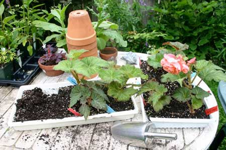 Potting up tuberous begonias at Gardenimport