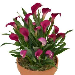 California Red calla at Gardenimport
