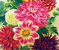 heirloom dahlias, with scott kunst
