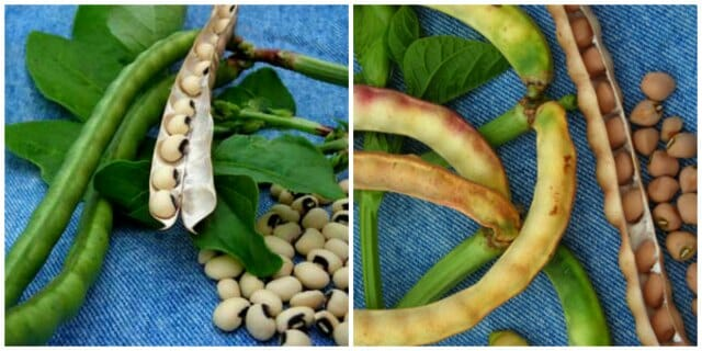 black eyed pea and crowder pea