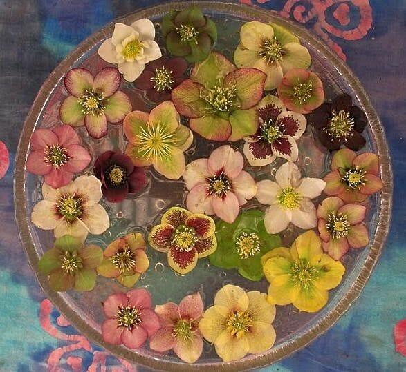 Bowl of x hybridus hellebore flowers at Pine Knot