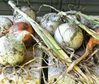 onions from seed: a success story