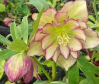 growing hellebores, with judith knott tyler