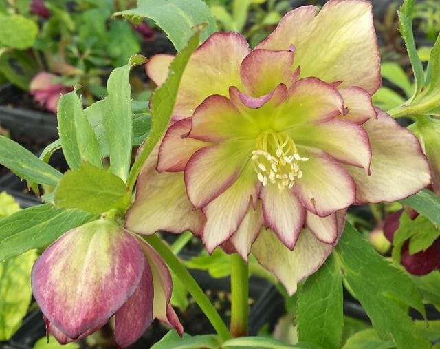 picotee double hellebore pine knot
