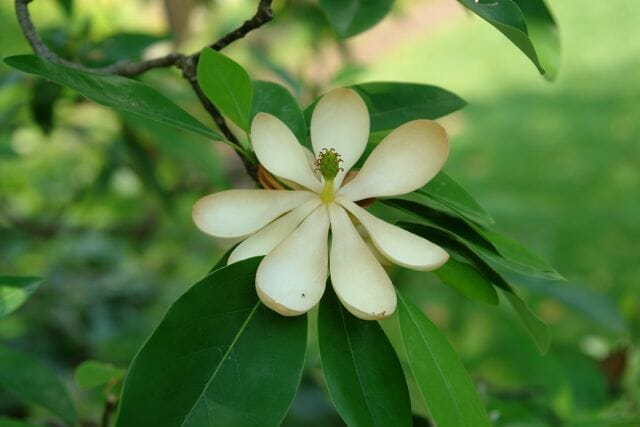Magnolia virginiana-close up
