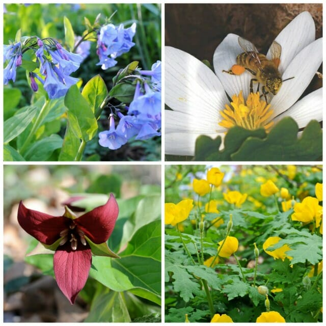 4 easy to divide wildflowers