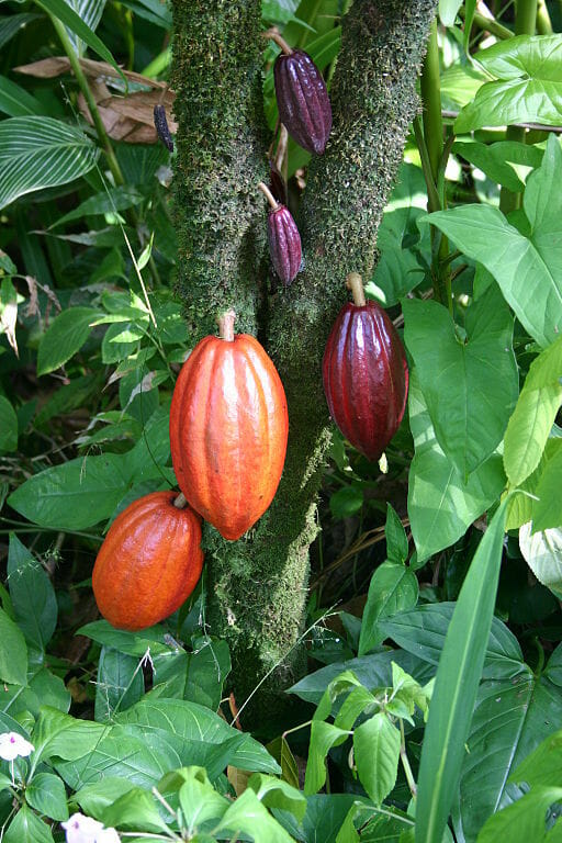 Cacao plant with chocolate pods ripening, from Wikipedia