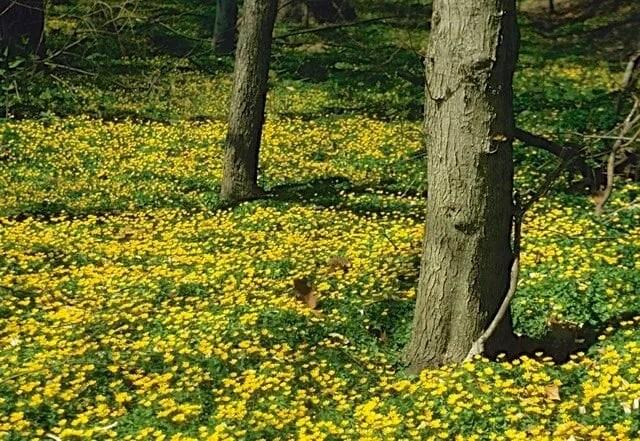 LC02_Ranunculus_ficaria_mass_NYB
